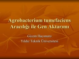 Agrobacterium tumefaciens Aracılığı ile Gen Aktarımı