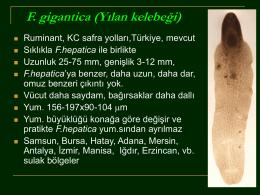 3.F.gigantica.Dicrocoleium