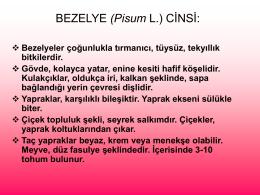 Yem Bezelyesi (Pisum L.) Cinsi