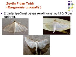 Zeytin Fidan Tırtılı (Palpita unionalis)