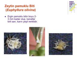 Zeytin pamuklu Biti (Euphyllura olivina)