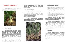 Soğan Yetiştiriciliği - Ankara İl Gıda Tarım ve Hayvancılık Müdürlüğü