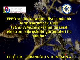 Tetranychus evansi