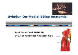 Uyluğun Ön-Medial Bölge Anatomisi
