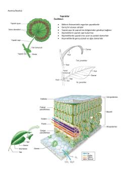 Yapraklar - İAL / biyoloji