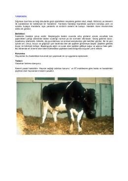 YANIKARA Sığırlara özel kas ve bağ dokularda gazlı şişkinlikler