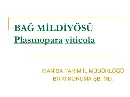 BAĞ MİLDİYÖSÜ(PRONOS) Plasmopara viticola