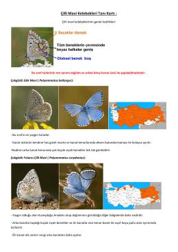 Çilli Mavi Kelebekleri Tanı Kartı :