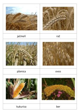 jačmeň raž pšenica ovos kukurica ber