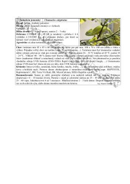 Chameleon jemensky.