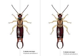 Ucholak obyčajný Forficula auricularia L. Ucholak obyčajný Forficula
