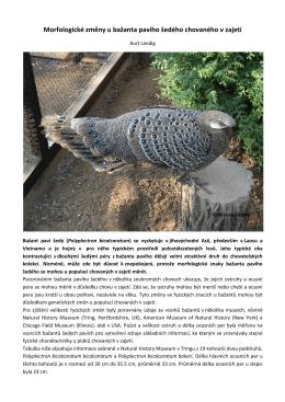 Morfologické změny u bažanta pavího šedého chovaného v zajetí