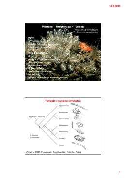 14.9.2015 1 Pláštěnci – Urochordata = Tunicata Tunicata v systému