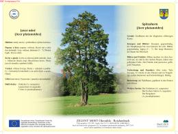 Javor mleč (Acer platanoides) Spitzahorn (Acer platanoides