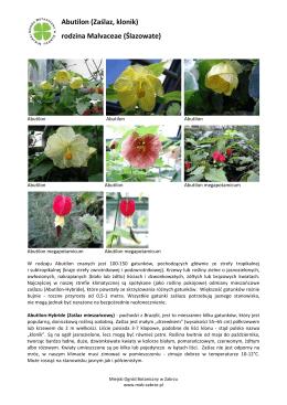 Abutilon - Miejski Ogród Botaniczny w Zabrzu