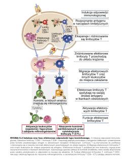 Migracja efektorowych limfocytów T oraz innych leukocytów do