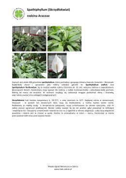 Spathiphyllum (Skrzydłokwiat) rodzina Araceae