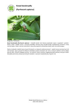 Kowal bezskrzydły (Pyrrhocoris apterus)
