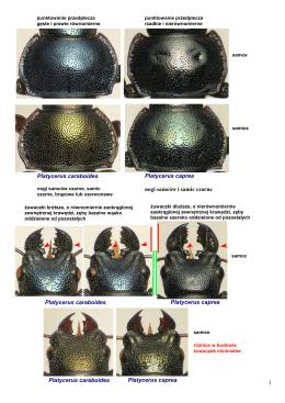 Platycerus caraboides vs caprea