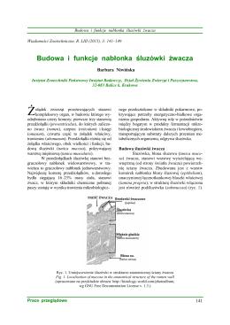Budowa i funkcje nabłonka śluzówki żwacza