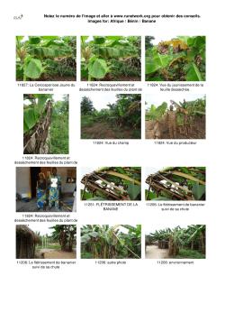 Afrique / Bénin / Banane