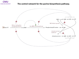 Purine biosynthesis pathway