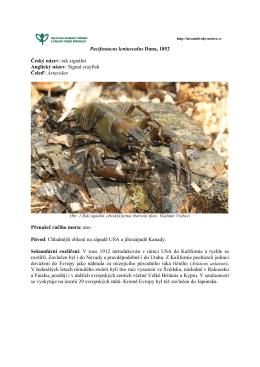 Baccharis halimifolia - Invazní druhy